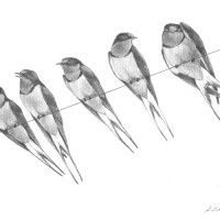Barn-Swallows