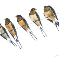Barn-Swallows_C