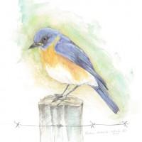 Blue-Bird_C