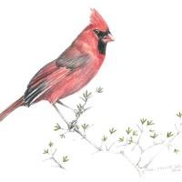 Cardinal_C