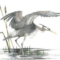 Great-Blue-Heron_C