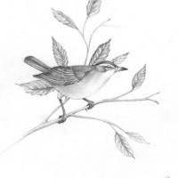 Red-eyed-Vireo