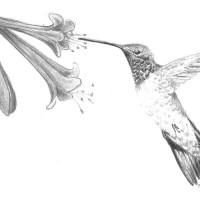 Ruby-Throat-Hummingbird_BW