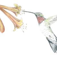 Ruby-Throat-Hummingbird_C