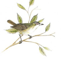 red-eyed-vireo-color